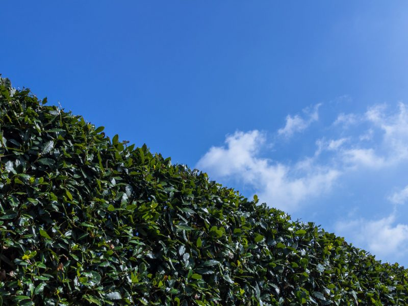 Big hedge against a blue sky, suitable as background or setting.